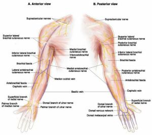 The anterior and posterior view of nerves in the arms.