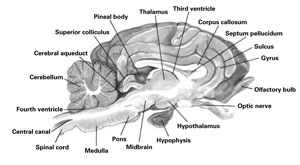 Sheep Brain Dissection Guide Worksheet Answers - Body & Anatomy