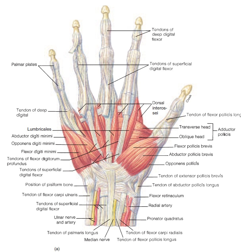 Anatomy of the hand joints