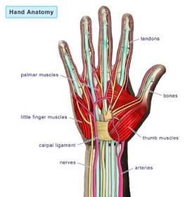 hand-anatomy1