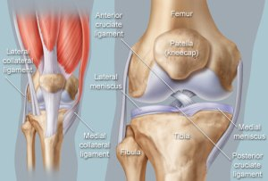 This image shows the different components of the knee and their placement.