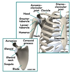 adult_shoulder_fx_anatomy01