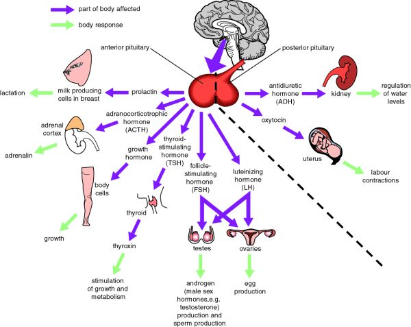 pituitary-gland-endocrine