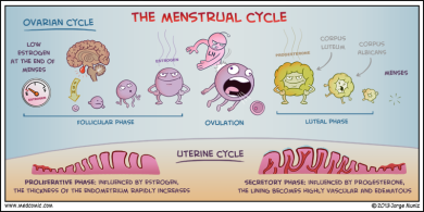 menstrual-cycle