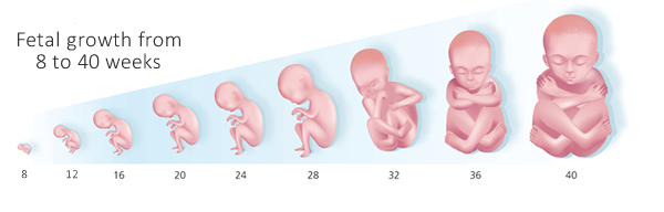 fetal-development