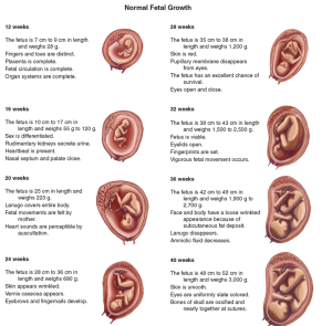 normal-fetal-growth