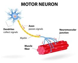 motor-neuron